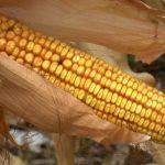 Prinosi kukuruza i kvalitet zrna dobri